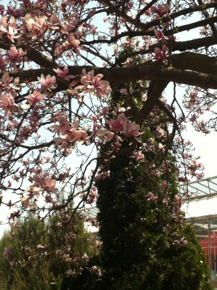 Magnolias were spilling their blossoms.